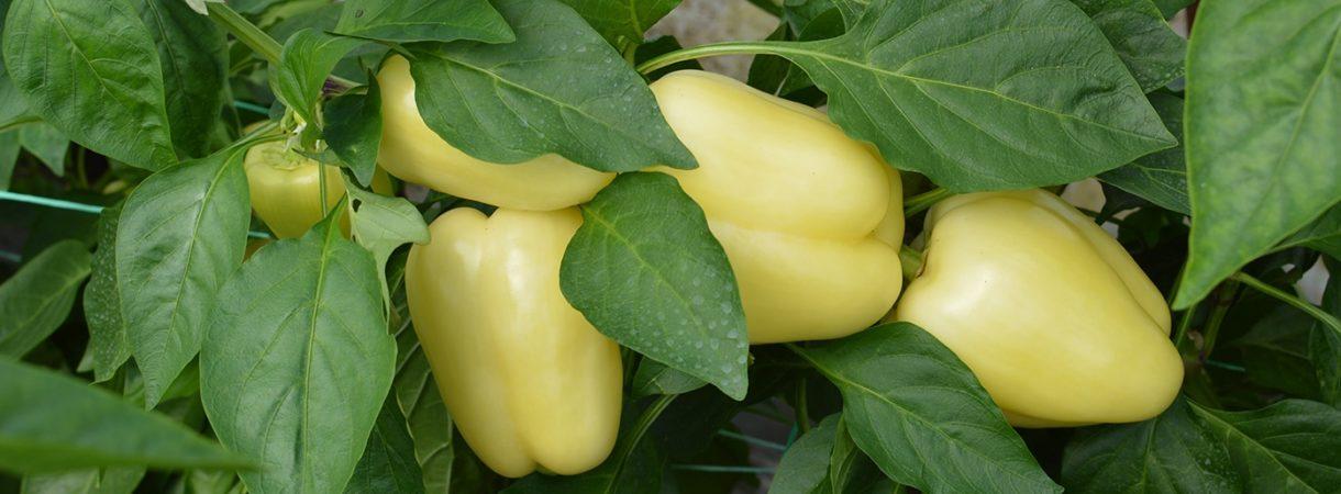 paprika uzgoj cmsns